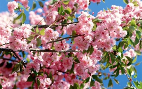fiori-rosa-in-primavera